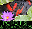 CLICK for Pond Fish & Scavengers